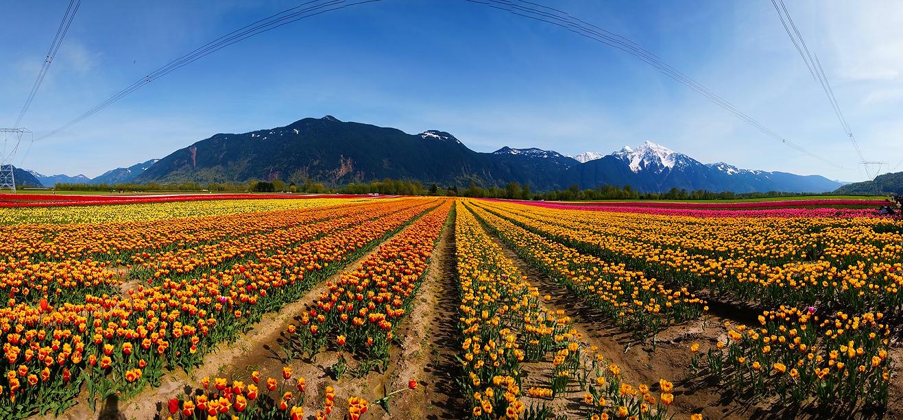 Agassiz Tulip Festival, British Columbia, Canada