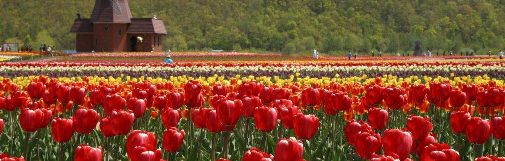 Sakura Tulip Festival, Japan