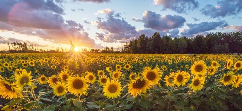 Sunflower fields, Italy
