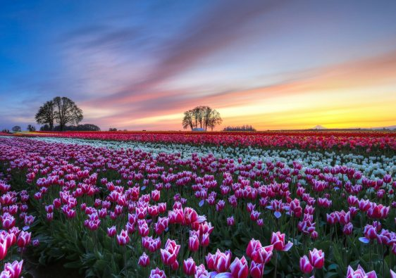 I Bet You Never Knew About These 11 Spectacular Flowers Fields In The World